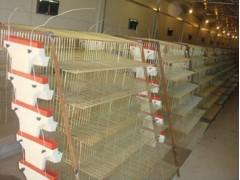 為您推薦質量硬的兩層一糞板自動集蛋籠 鵪鶉籠價格