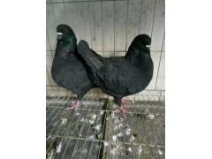 肉鸽种鸽养殖场一对种鸽多少钱