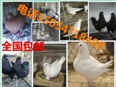 哪里有肉鸽种鸽养殖场