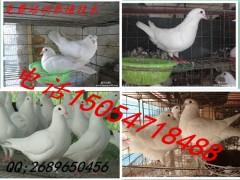 哪里有肉鸽种鸽出售,种鸽养殖场