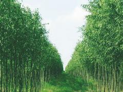 竹柳種植,供應品種好的竹柳