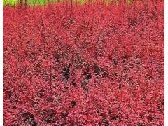 【6666】【紅葉小檗圖片?紅葉小檗成活率??紅葉小檗育苗】