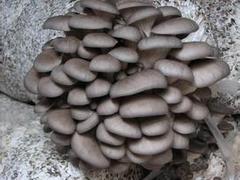 售卖平菇|价位合理的平菇供应,就在裕隆祥农业
