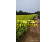 优质国庆菊种植基地批发价格山东向阳花卉13869655585