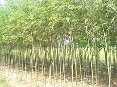 淄博美國竹柳 想要高純度竹柳就來麥藍農業科技