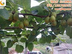 红心猕猴桃产地:广西优质红心猕猴桃苗供应