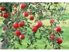 苹果苗新品种,早熟苹果新品种,河南美图基地