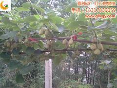 在哪能买到高质量的红心猕猴桃苗:大新红心猕猴桃