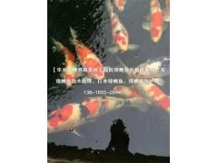 杭州锦鲤鱼——杭州哪里有信誉好的日本纯种锦鲤鱼