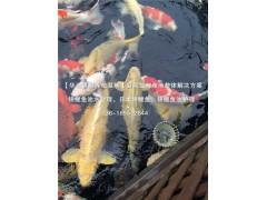 纯种锦鲤鱼批发|日本纯种锦鲤鱼报价 杭州华池锦鲤园林不二选