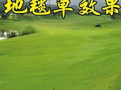 高性价地毯草种子百绿园林供应 朝阳地毯草种子