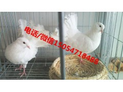 肉鸽养殖场、肉鸽种鸽多少钱一对