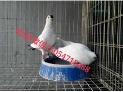 观赏鸽一对多少钱、观赏鸽品种、观赏鸽价格
