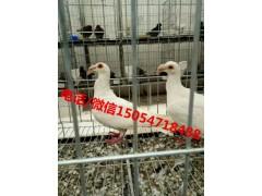 白羽王种鸽一对多钱银王肉鸽价格
