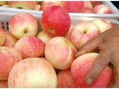 供應優質蘋果批發價