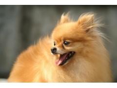 热销的泉州哪里有卖博美市场价格——晋江博美犬价格