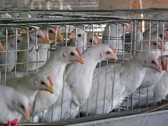 聊城划算的青年鸡供应