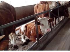 优质牛肉,来自肉牛养殖基地