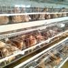 高品质育成鸡哪里有供应|聊城育成鸡
