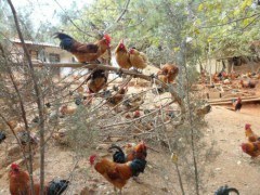 昆明云南土鸡厂家:恒发禽业专业供应云南土鸡