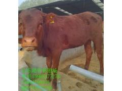 目前小母牛犊 价格