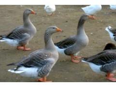 如何正确选择鹅苗养殖场地