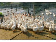 在饲养鹅苗过程中注意事项