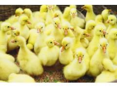 养鹅苗过程中该怎样避免错误操作