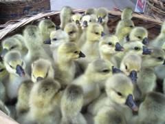饲养鹅苗时该注意添加哪些饲料
