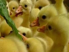 饲养鹅苗的关键-环境温度