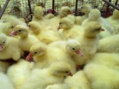 如何降低饲养鹅苗的成本