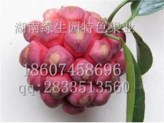 *新特色水果菠蘿葡萄種苗 大苗