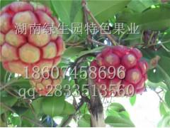 生態保健水果布福娜的種植技術