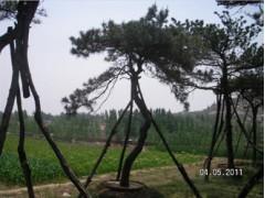 莱芜造型松价格 泰山景观松树基地 造型油松基地  造型松价格【行业推荐】