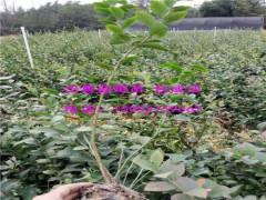 哪里能买到极好的蓝莓苗|沈阳美登蓝莓苗