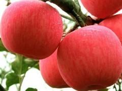 【鹏大醉有缘商城】烟台苹果批发 烟台苹果厂家 烟台苹果供应