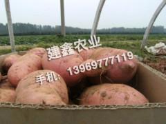 山东优质红薯批发价格,红薯苗批发