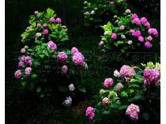 绣球花绿化苗多少钱