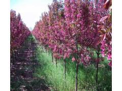 2公分海棠樹苗價格