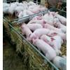 山东仔猪大型批发市场