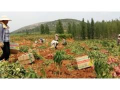 山东地瓜种苗批售  保证成活的地瓜种苗