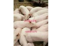 猪场供应三元小仔猪苗价格