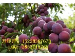 贵州正安县脆红李子苗