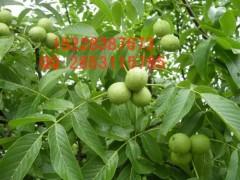 贵州正安县脆红李子苗价格