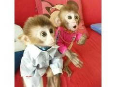 宠物猴子多少钱一只