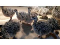 供應非洲鴕鳥幼苗