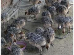 非洲鴕鳥多少錢一只