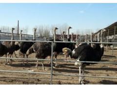 養殖鴕鳥,鴕鳥飼養多少。山東晨旭養殖場