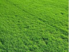 辽宁早熟禾草坪-美国优异草坪专业供应商——辽宁草坪