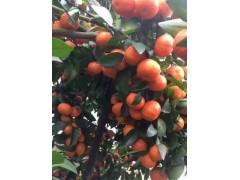 橘子砂糖橘產地直銷種植基地批發銷售全國招商冬季水果